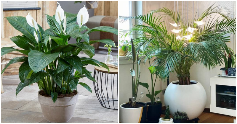 10 Best Indoor Plants That Are Good For Healthy Lungs