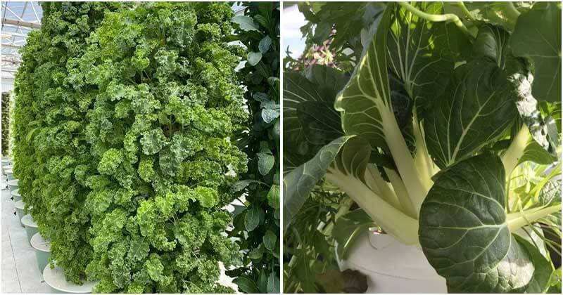 Top 8 Green Vegetable Varieties To Grow In Vertical Garden