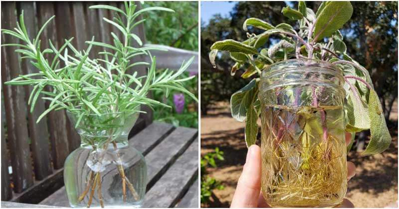 7 Popular Herbs You Can Grow in Water Pots