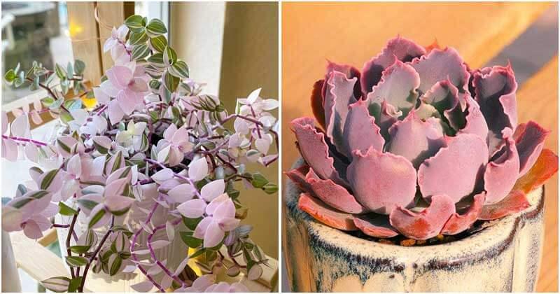 21 Best Beautiful Pink Succulents