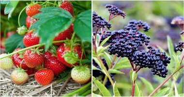 15 Easy to grow Berries That You Can Grow In The Garden