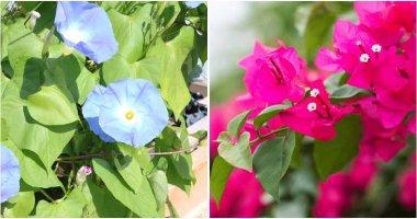 11 Stunning Perennial Vine Plants That Grow Well In Full Sun