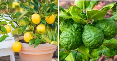 10 Best Citrus Trees To Grow In Containers and Pots