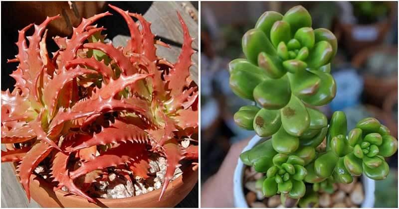 19 Succulent Varieties That Can Change Color