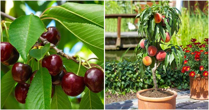 8 Best Dwarf Fruit Tree Varieties For High Yields In Your Small Garden