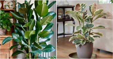 7 Benefits Of Rubber Plant When You Grow In The Home
