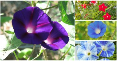 17 Beautiful Morning Glory Flowers Varieties