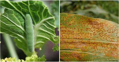11 Spring Pests and Diseases You Should Watch Out To Protect Your Harvest